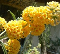 'Honeycomb' Yellow Butterfly Bush