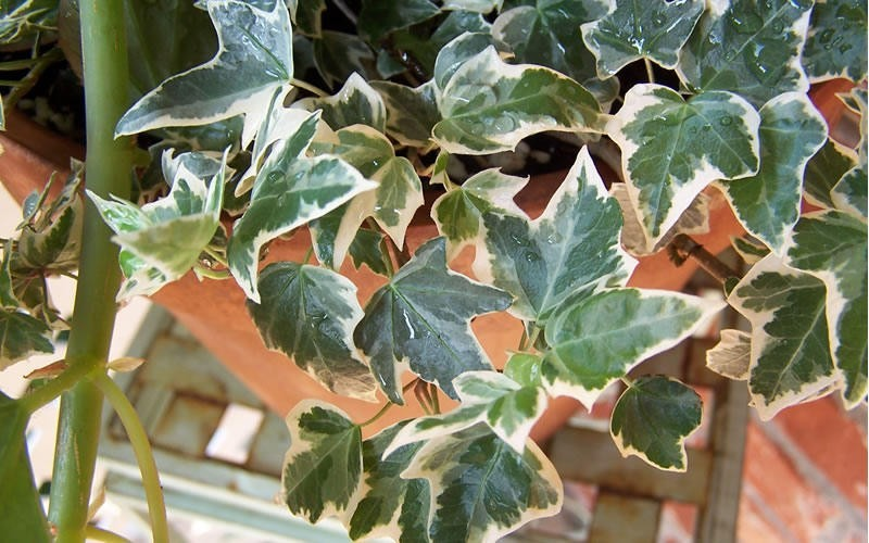 Anne Marie Variegated Ivy - 10 Count Flat of 4