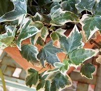 Shop Anne Marie Variegated Ivy - 10 Count Flat of 4