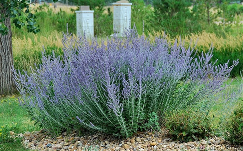 Blue Spire Russian Sage Photo 1