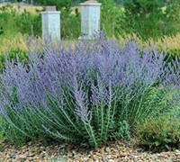 Shop Blue Spire Russian Sage - 1 Gallon