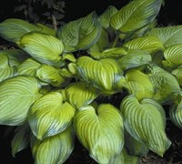 Shop Guacamole Hosta Lily - 1 Gallon