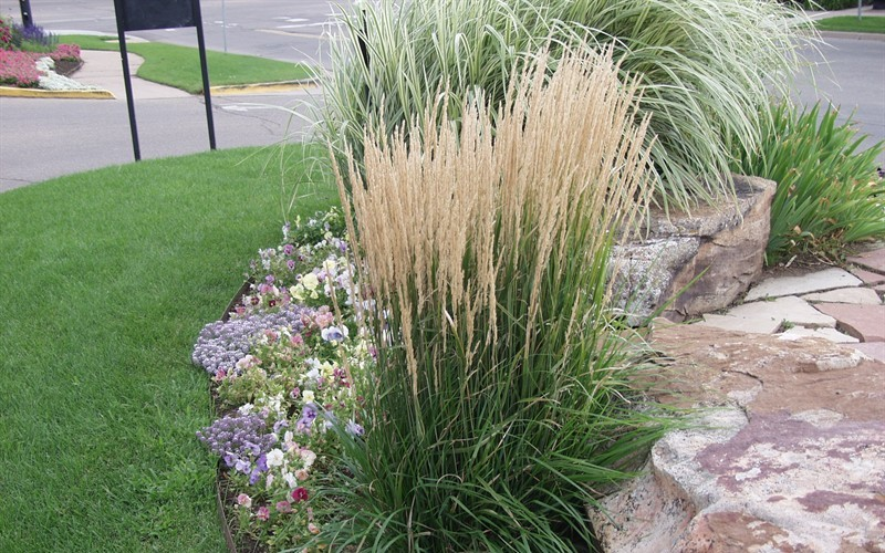 perennial grasses  buy plants online, Natural flower