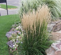 Shop Karl Foerster Reed Grass - 2.5 Quart