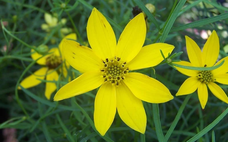 Zagreb Coreopsis Photo 4