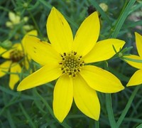 Shop Zagreb Coreopsis - 1 Gallon