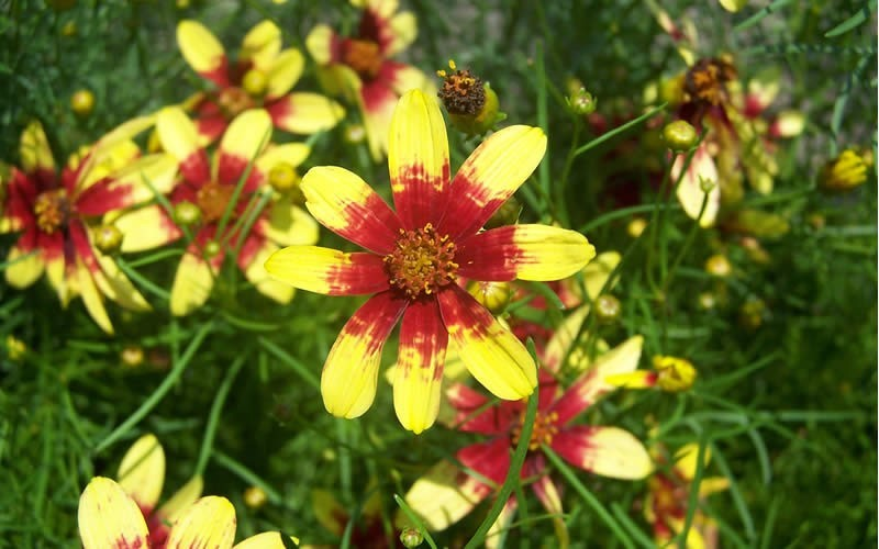 Route 66 Coreopsis - Tickseed - 5