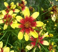 Route 66 Coreopsis - Tickseed