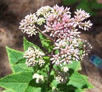 Shop Eupatorium dubium 'Little Joe' PP#16122 - Joe Pye Weed - 1 Gallon