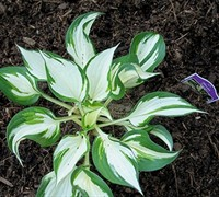 Loyalist Hosta Lily