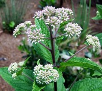Eupatorium dubium 'Little Joe' PP#16122 - Joe Pye Weed