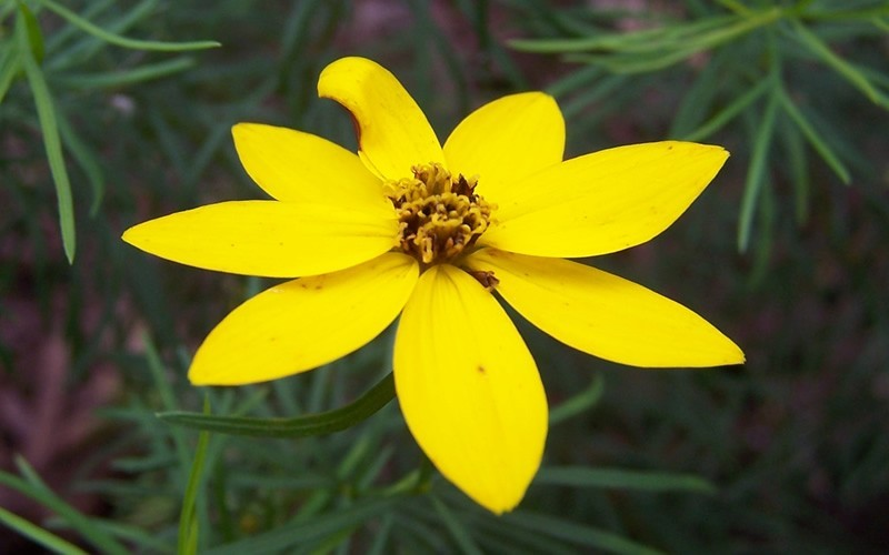 Zagreb Coreopsis Photo 3
