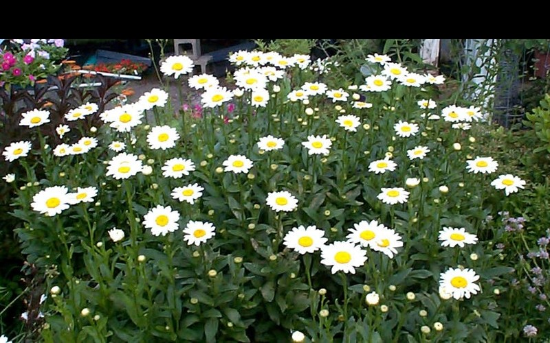 Becky Shasta Daisy Photo 1