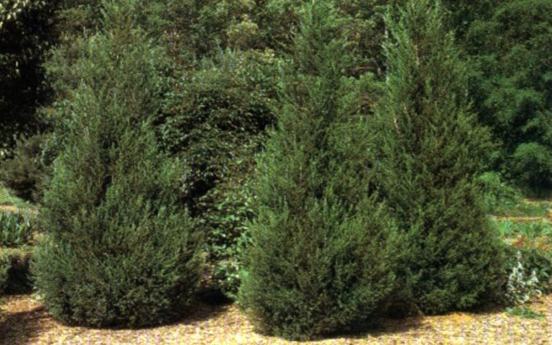 Hetzi Columnar Juniper Photo 5