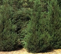 Shop Hetzi Columnar Juniper - 1 Gallon