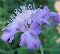 Shop Butterfly Blue Pincushion Flower - Scabiosa columbaria 'Butterfly Blue' - 10 Count Flat of Quart Pots