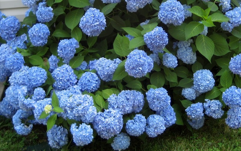 Hydrangea macrophylla endless summer