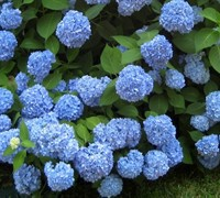 Endless Summer Hydrangea - Hydrangea macrophylla 'Endless Summer'