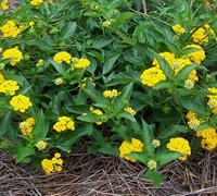 New Gold Hardy Lantana