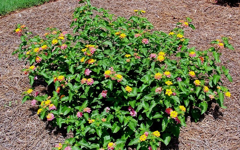 Sonset Hardy Lantana Photo 2