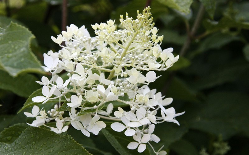 phantom hydrangea 1 gallon shrub perennial hydrangea shrubs togogarden. Black Bedroom Furniture Sets. Home Design Ideas