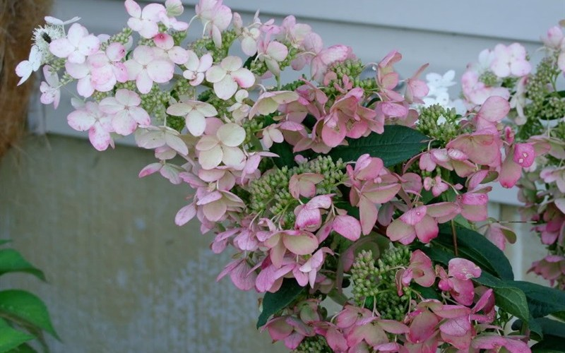Pink Diamond Hydrangea - 3 Gallon - Perennial Plants | ToGoGarden