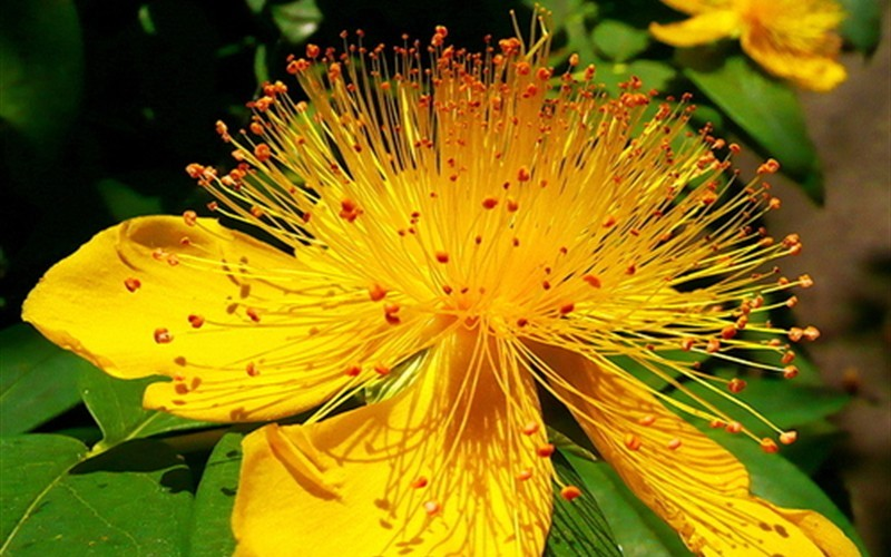 Creeping St John's Wort Photo 1