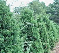 Iowa Juniper - Juniperus chinensis 'Iowa'