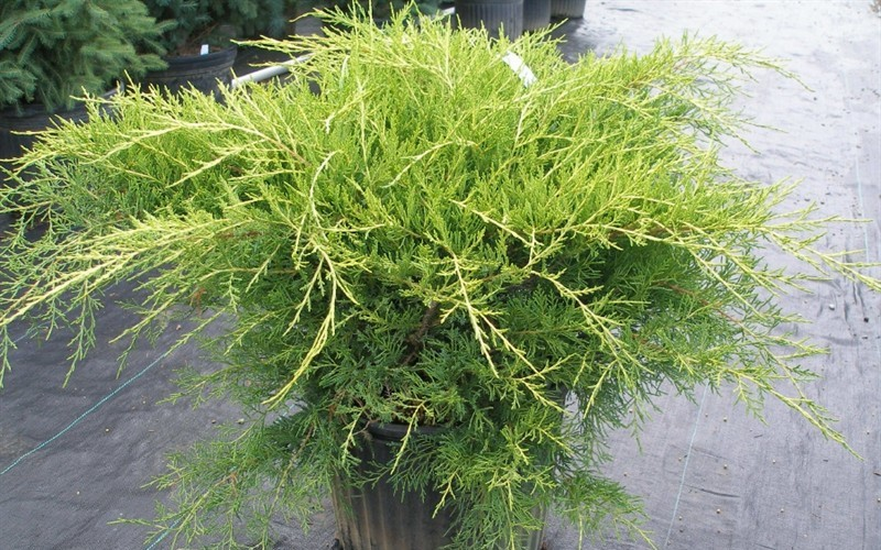 Gold Star Juniper - Juniperus chinensis - Gold Star