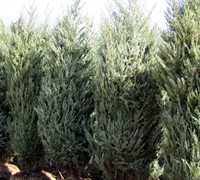 Moonglow Juniper - Juniperus scopulorum