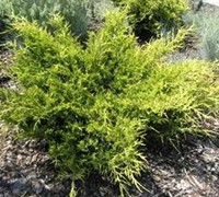 Old Gold Juniper - Juniperus chinensis 'Old Gold'