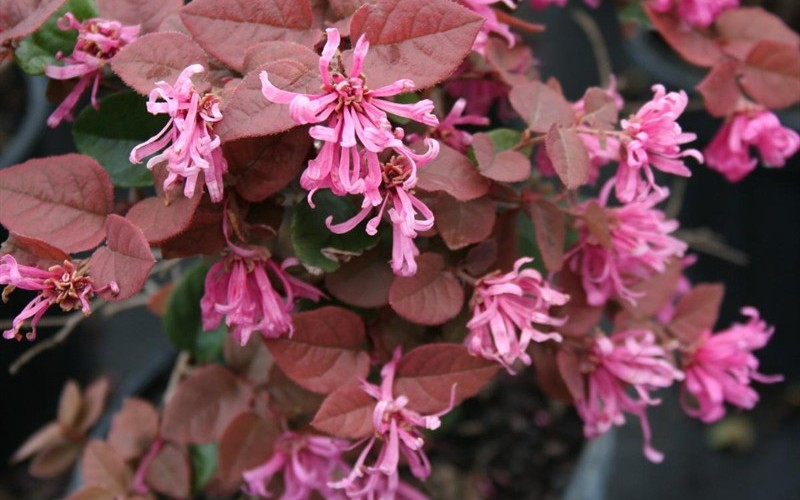 Ruby Loropetalum - 2.5 Gallon - Shrubs for Spring Color | ToGoGarden