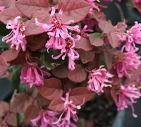 Ruby Loropetalum