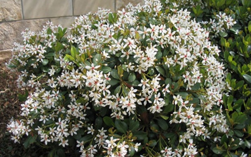 Alba Indian Hawthorn - Raphiolepis indica 'Alba' - 1 Gallon - Indian Hawthorne - Raphiolepis | ToGoGarden