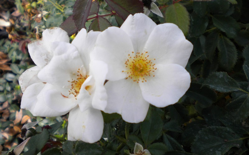 White Out Rose - 1 Gallon - Rose Bushes | ToGoGarden