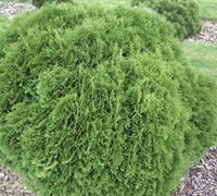 Little Giant Dwarf Arborvitae - Thuja occidentalis -'Little Giant'