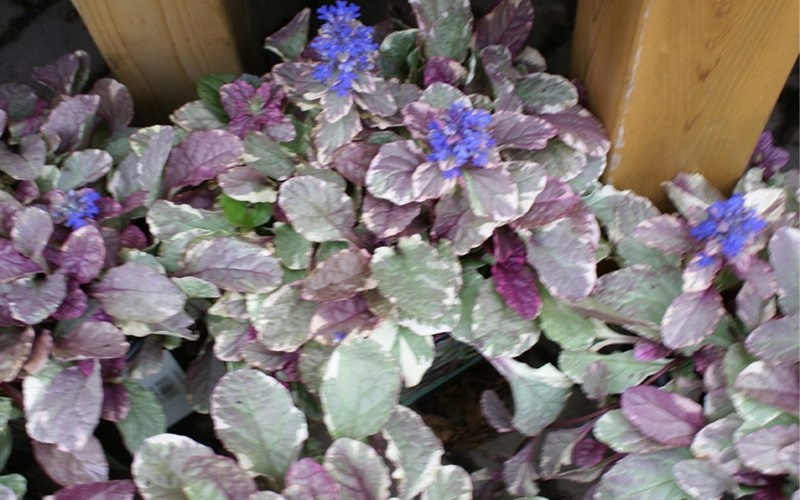 Ajuga Burgundy Glow Bugleweed - 3 Count Flat of Pint Pots - Ajuga - Bugleweed | ToGoGarden
