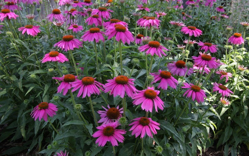 Kim's Knee High Echinacea - Coneflower - 1 Gallon - Echinacea - Coneflowers | ToGoGarden