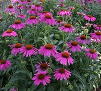 Kim's Knee High Echinacea - Coneflower