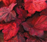 Autumn Leaves Heuchera - Coral Bells