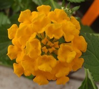 Chapel Hill Gold Hardy Lantana