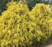 Shop Gold Mop Cypress Ships in June - 3 Gallon