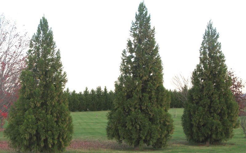Japanese Cedar - 3 Gallon - Privacy Trees | ToGoGarden