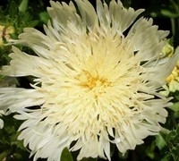 Shop Mary Gregory Sokesia - Stokes Aster - 1 Gallon