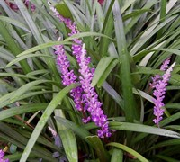 Liriope muscari 'Evergreen Giant' - Evergreen Giant Liriope
