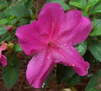 Shop Autumn Royalty Encore Azalea - 1 Gallon