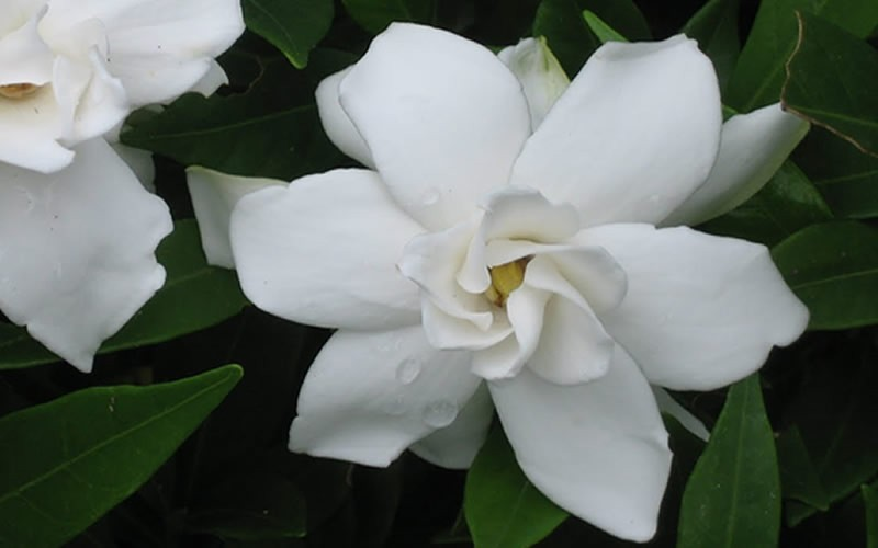 Frost Proof Gardenia - 3 Gallon - Fragrant & Scented Shrubs | ToGoGarden