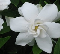 Shop Frost Proof Gardenia - 2.5 Quart