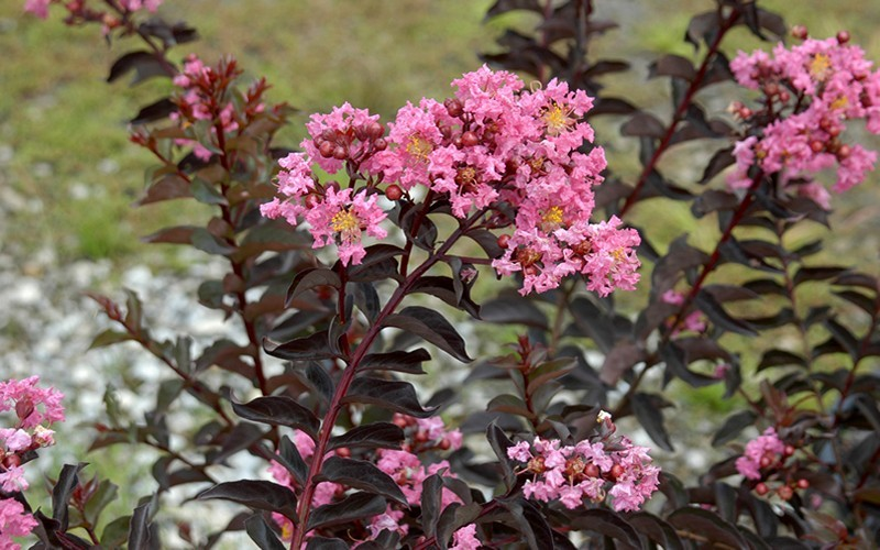 Delta Jazz Crape Myrtle - 2 Gallon - Southern Living Plant Collection | ToGoGarden