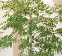Shop Green Cascade Full Moon Japanese Maple - 3 Gallon
